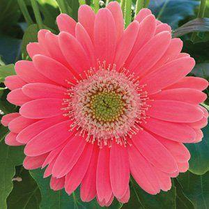 Garvinea Sweet Heart Garden Express
