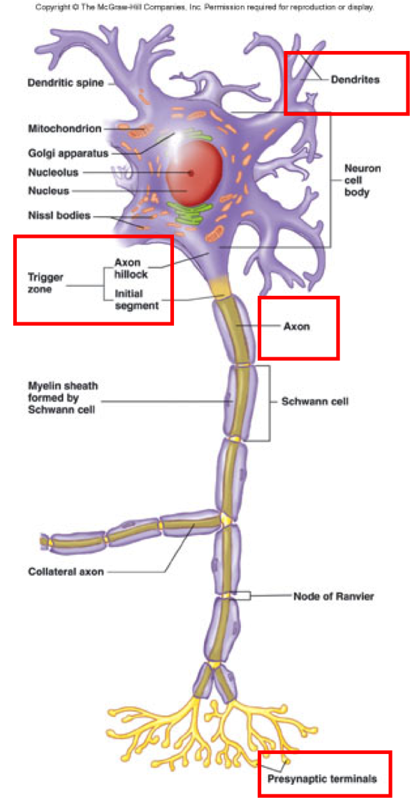 Nerve Cell Physiology ... | Anatomy & Physiology | Pinterest