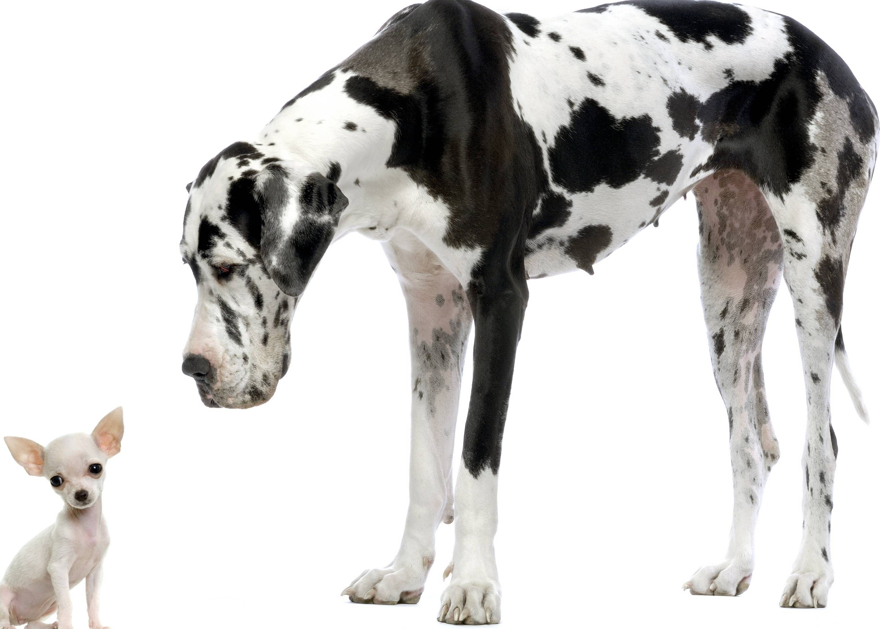 Image Result For Great Dane White Background With Images Pet