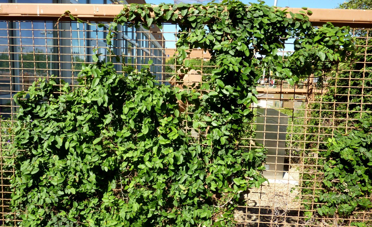 Creeping Fig On Rio Bar What I Would Like For The Fences Vine Trellis Ficus Pumila Climbing Plants Trellis