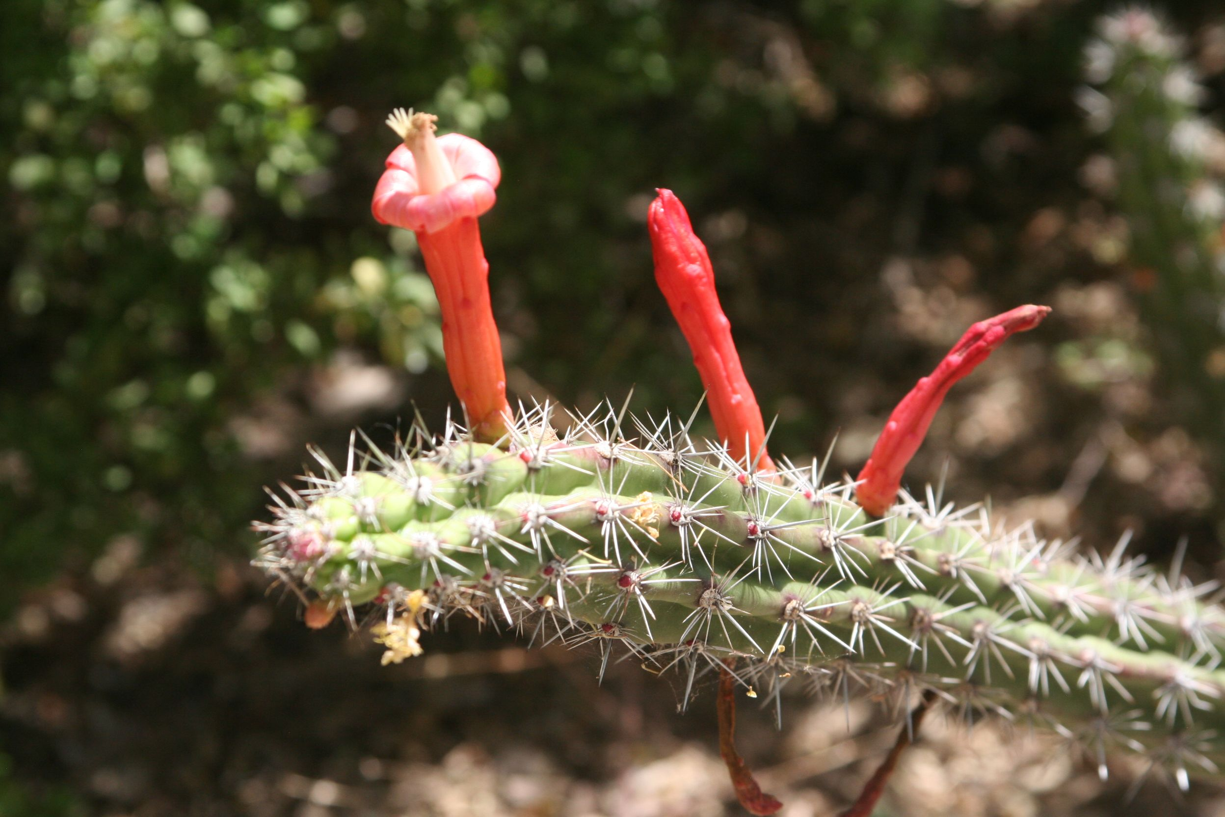 Cactus in Bloom Tucson Arizona