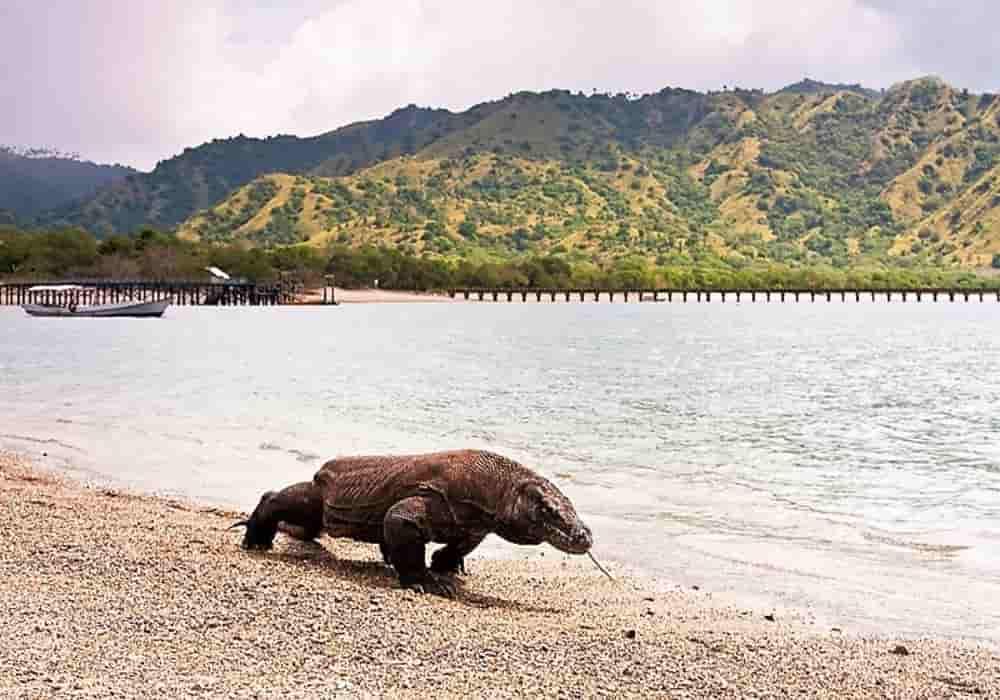 Biawak, Komodo Habitat, Makanan, Reproduksi, Bisa (racun