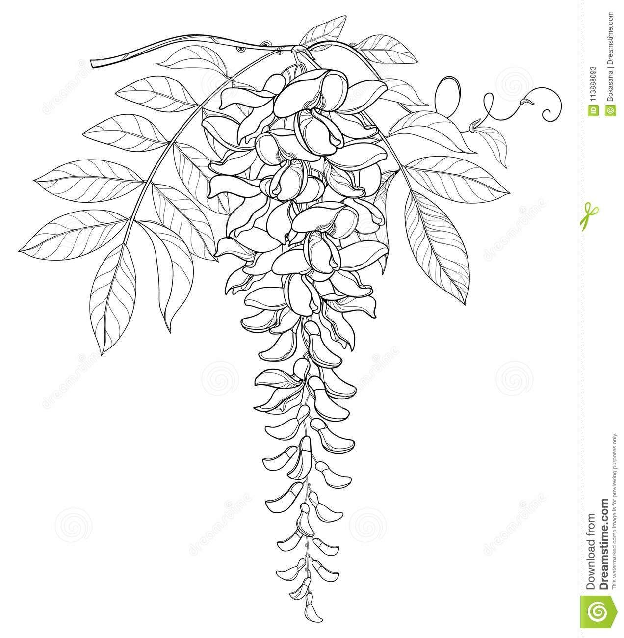 Vector Branch Of Outline Wisteria Or Wistaria Flower Bunch Bud And Leaf In Black Isolated On White Backgr Flower Line Drawings Flower Drawing Sharpie Drawings