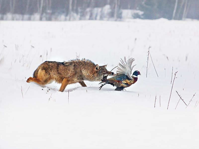 How to catch and kill a coyote ar platform cartridges