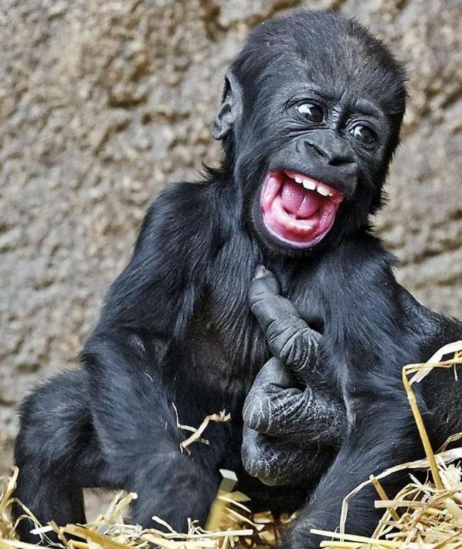 gorilla baby im leipziger zoo kleiner king kong kitzlig affen tier und tierbilder. Black Bedroom Furniture Sets. Home Design Ideas