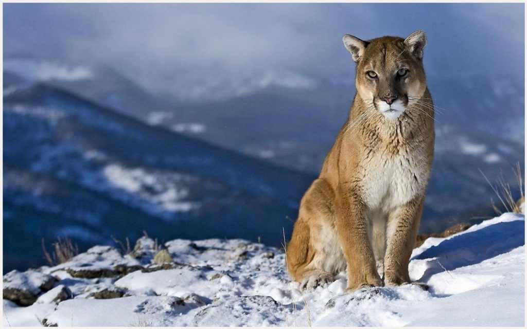 Cougar Mountain Lion Wallpaper Cougar Mountain Lion Wallpaper