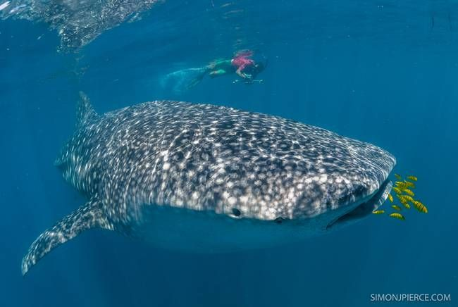 Scientists use lasers to measure live whale sharks : TreeHugger -  http://bit.ly/1zOl5me