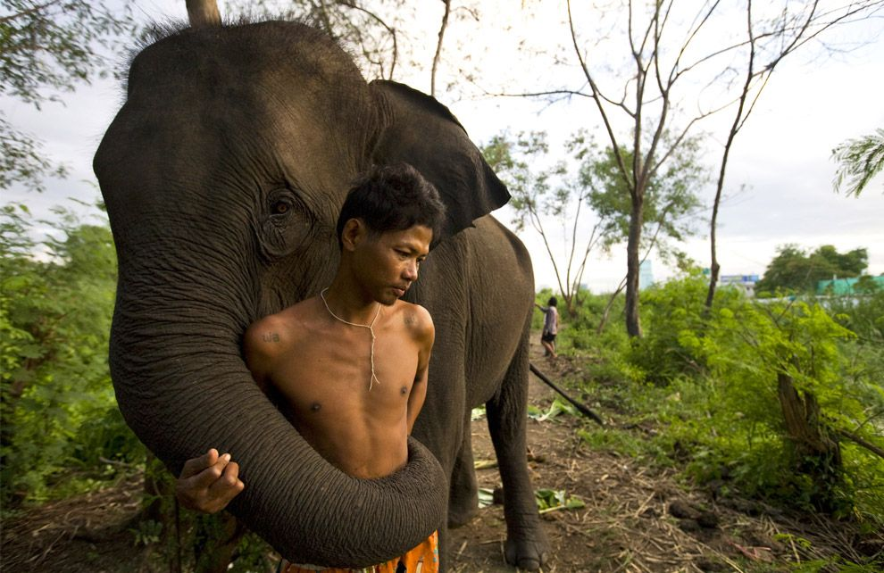 Sangworn, a mahout (elephant driver), stands with his 13 year old elephant, Bussaba, at his temporary camp September 26, 2008 in Bangkok, Thailand. While the elephant is a symbol of Thailand, it is a fairly common site to see the unemployed and homeless animals roaming the city streets begging for food.