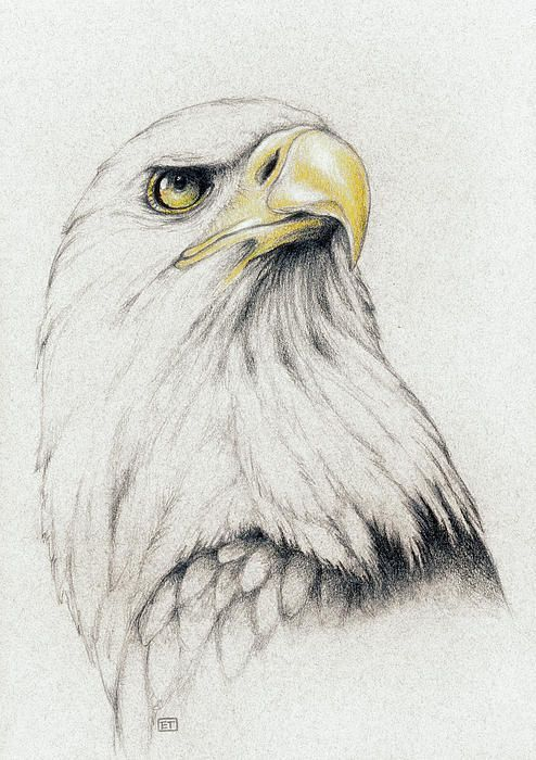 Bald Eagle Drawing: | Pomysły | Pinterest | Ilustraciones de ...
