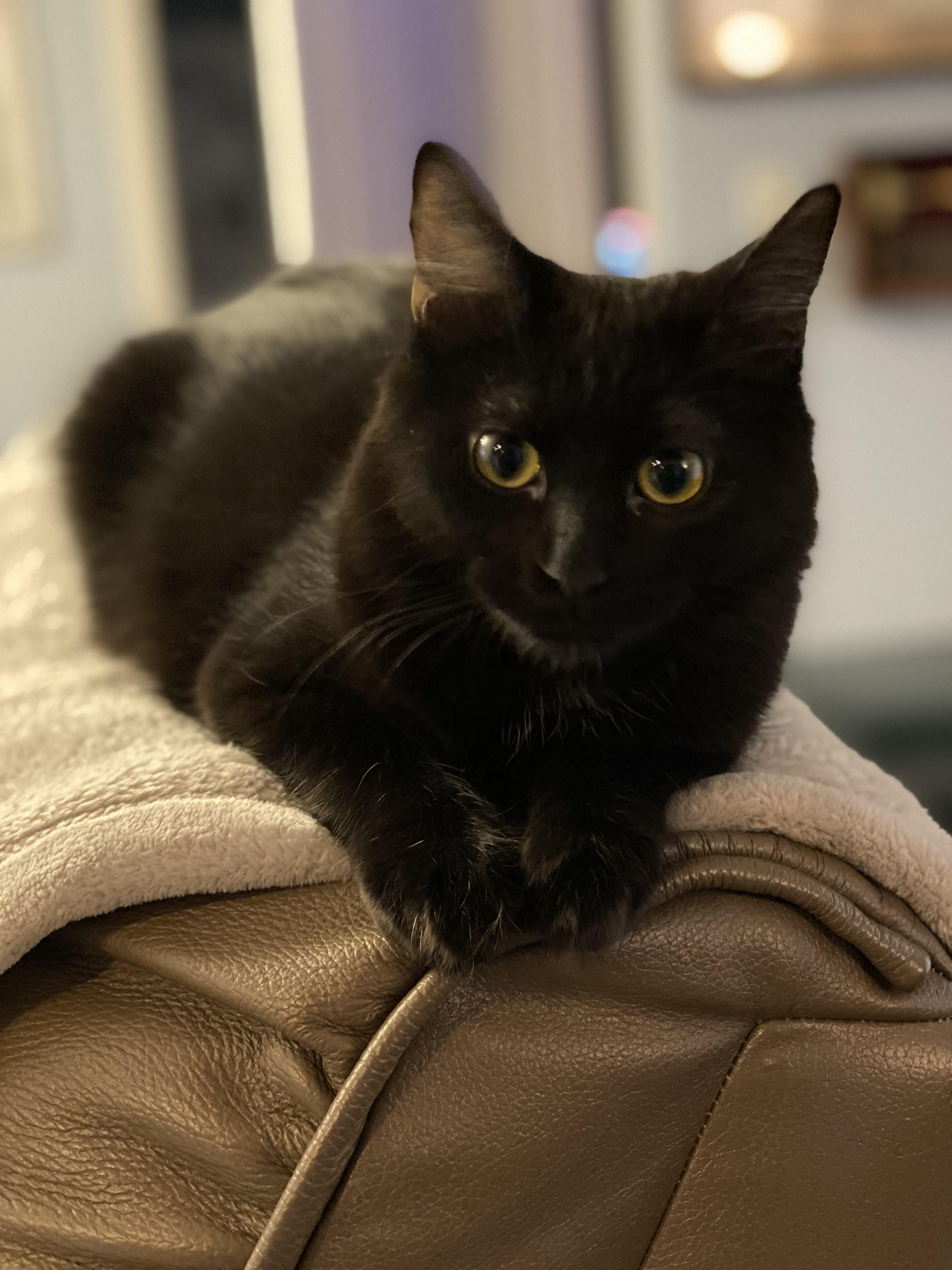 My 8 Month Old Little Void Boo Https Ift Tt 2g80qge In 2020 Kittens Cutest Cat Pictures For Kids Cat Mom