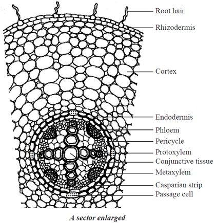 Eudicot Root Slide Diagram