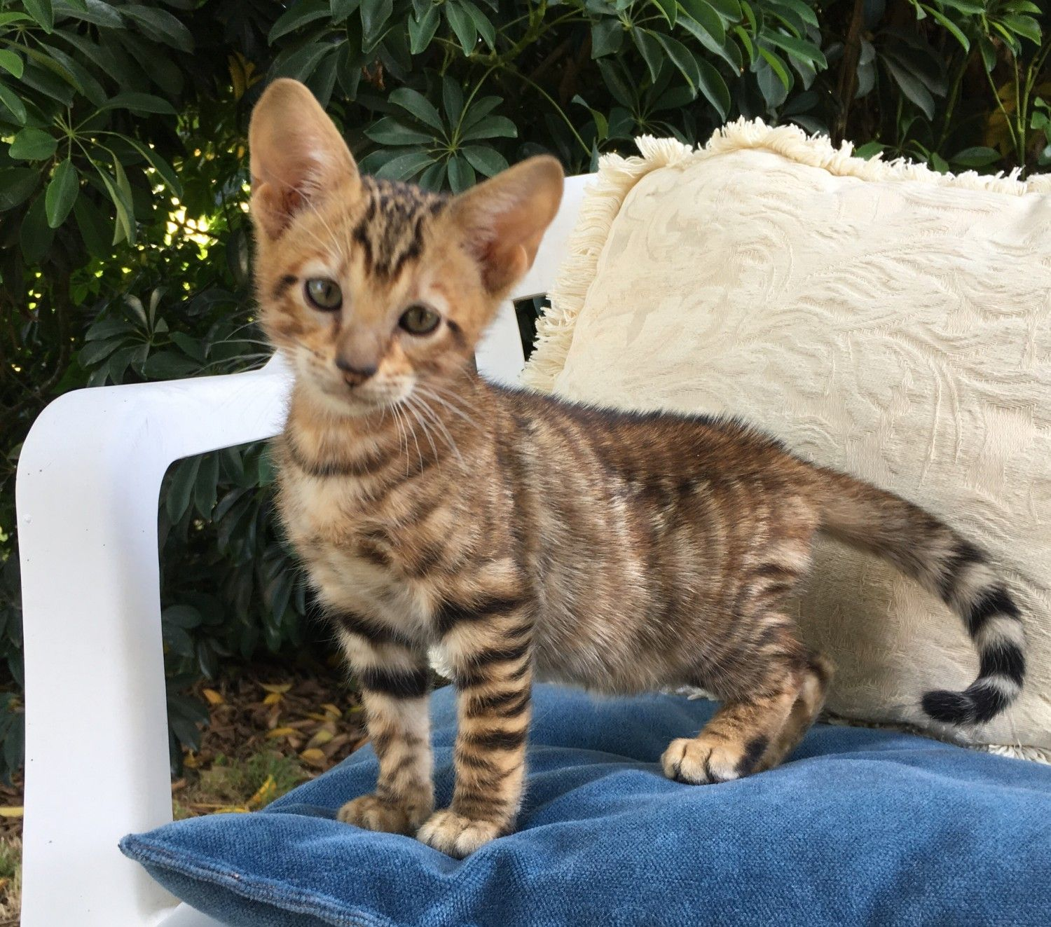 Toyger Cats For Sale Hesperia Ca In 2020 Toyger Cat Cats Toyger Kitten