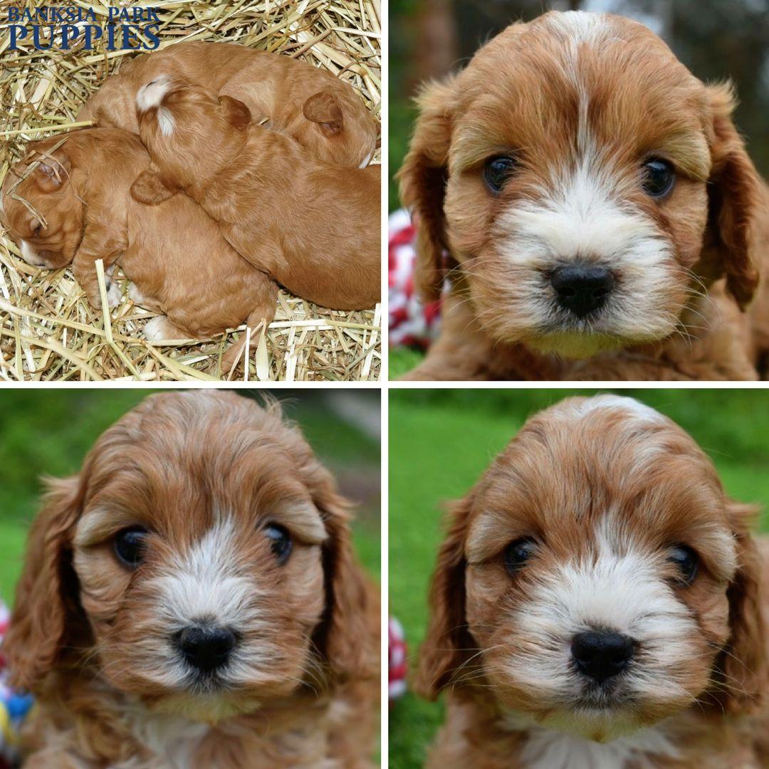 Definitely Triplets Dog Breeder Schnoodle Food Animals