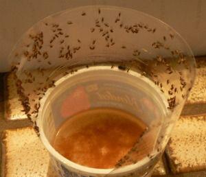 Pin By Shanti On Diy Household Tips Tricks Fruit Fly Trap Best Fruit Fly Trap Fruit Flies