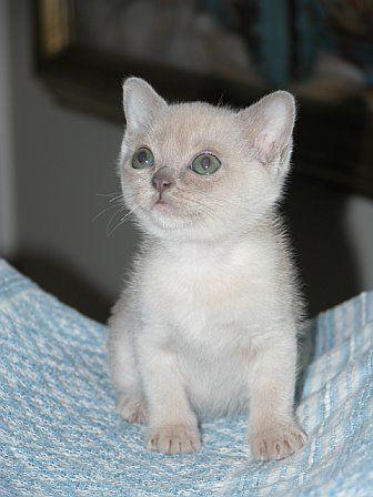Burmese Cat Wikipedia Burmese Kittens Baby Cats Burmese Cat