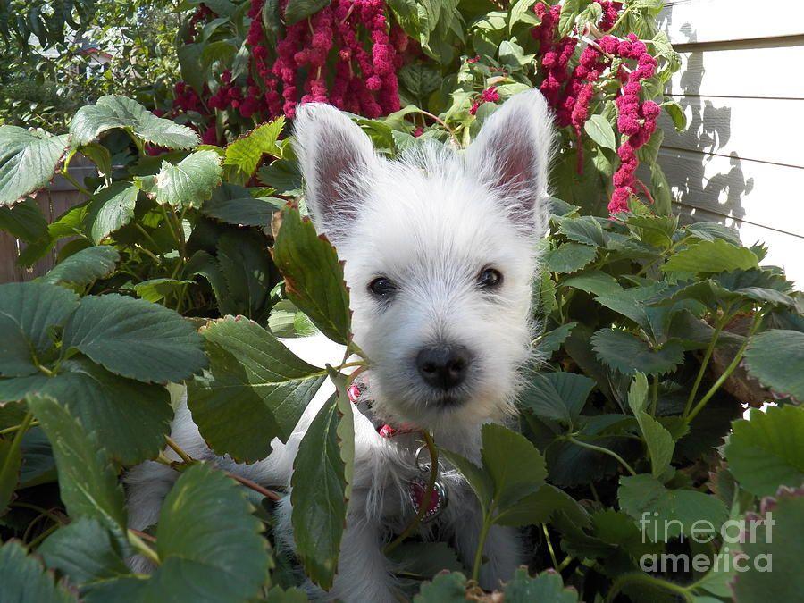 Ms Daisy Westie Puppy Puppy Art West Highland White Terrier Westies