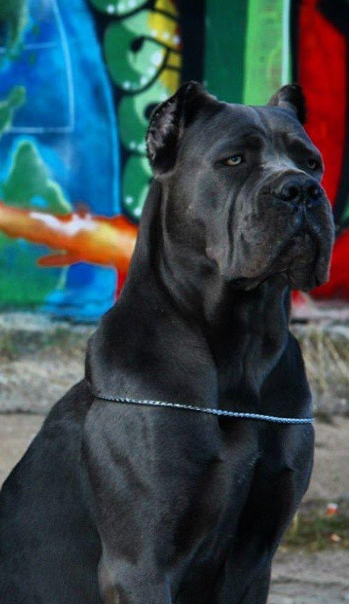 Pin By Tanya Wills Garvin On Mastiffs Cane Corso Corso Dog
