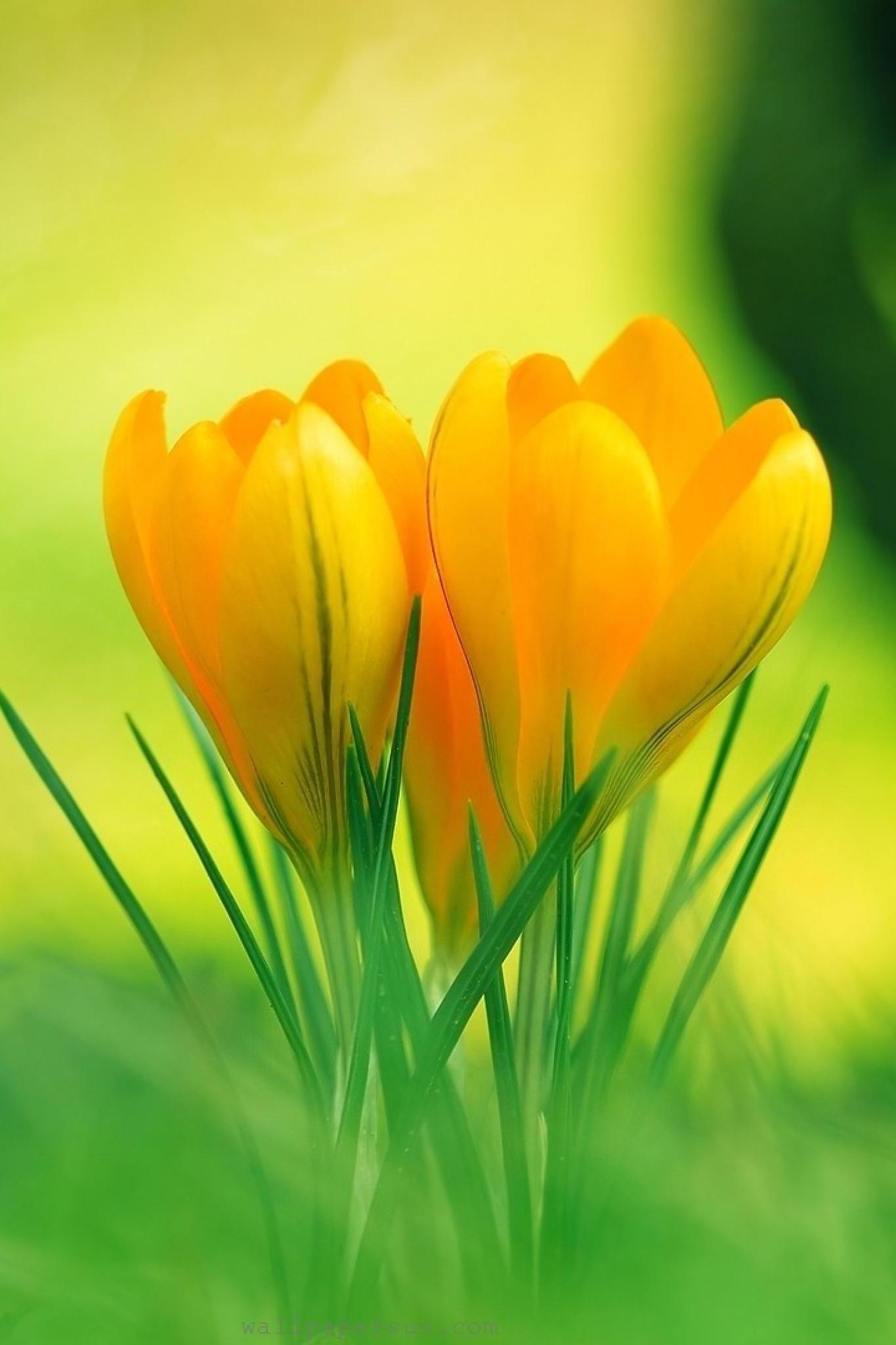 Hd Wallpaper Yellow Flower Crocus Flower Yellow Crocus Flower