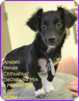 Beaumont Tx Chihuahua Dachshund Mix Meet Anabell A Puppy For