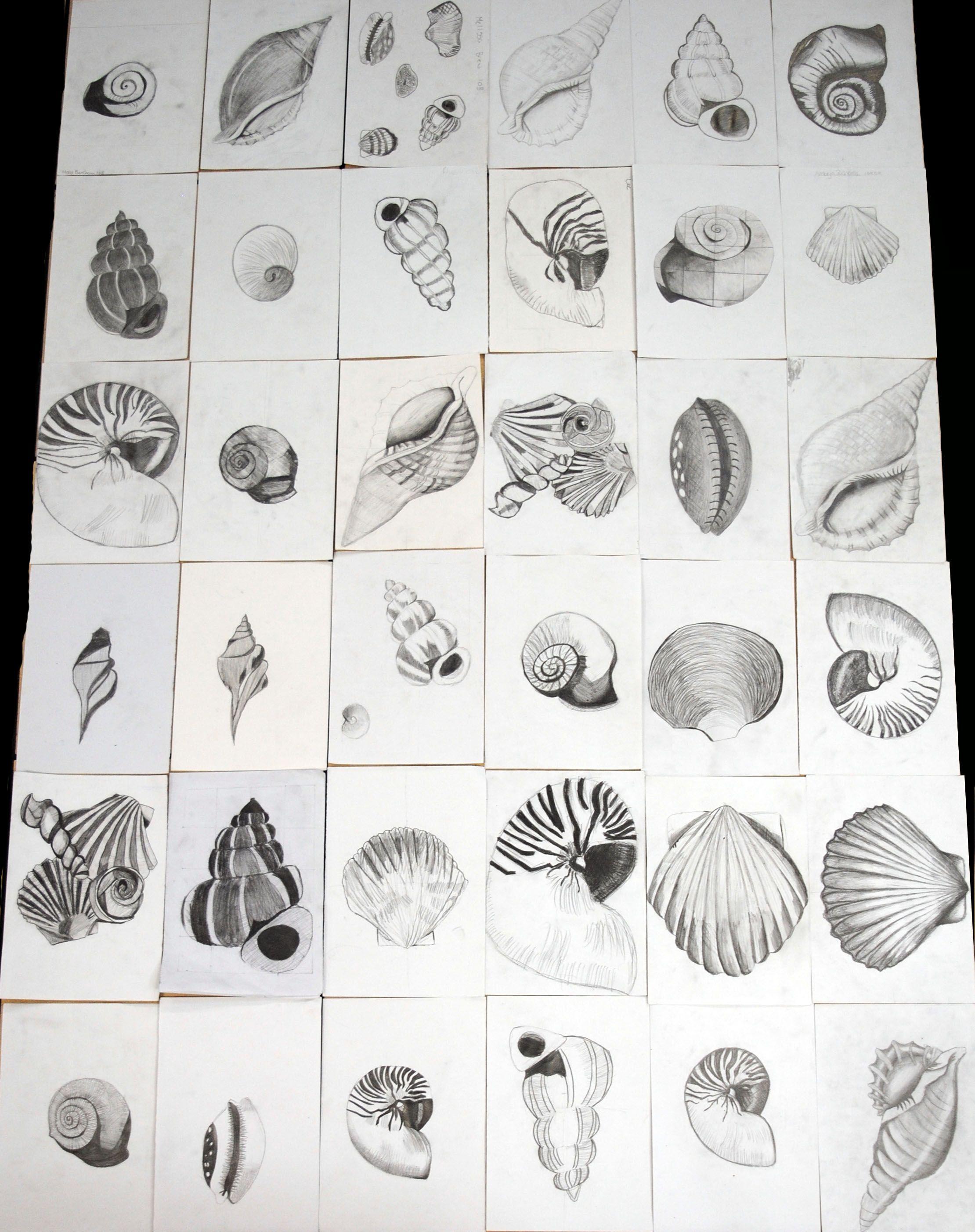 Uncategorized Shell Drawings gcse year 10 pencil tonal shell drawings igcse still life drawings