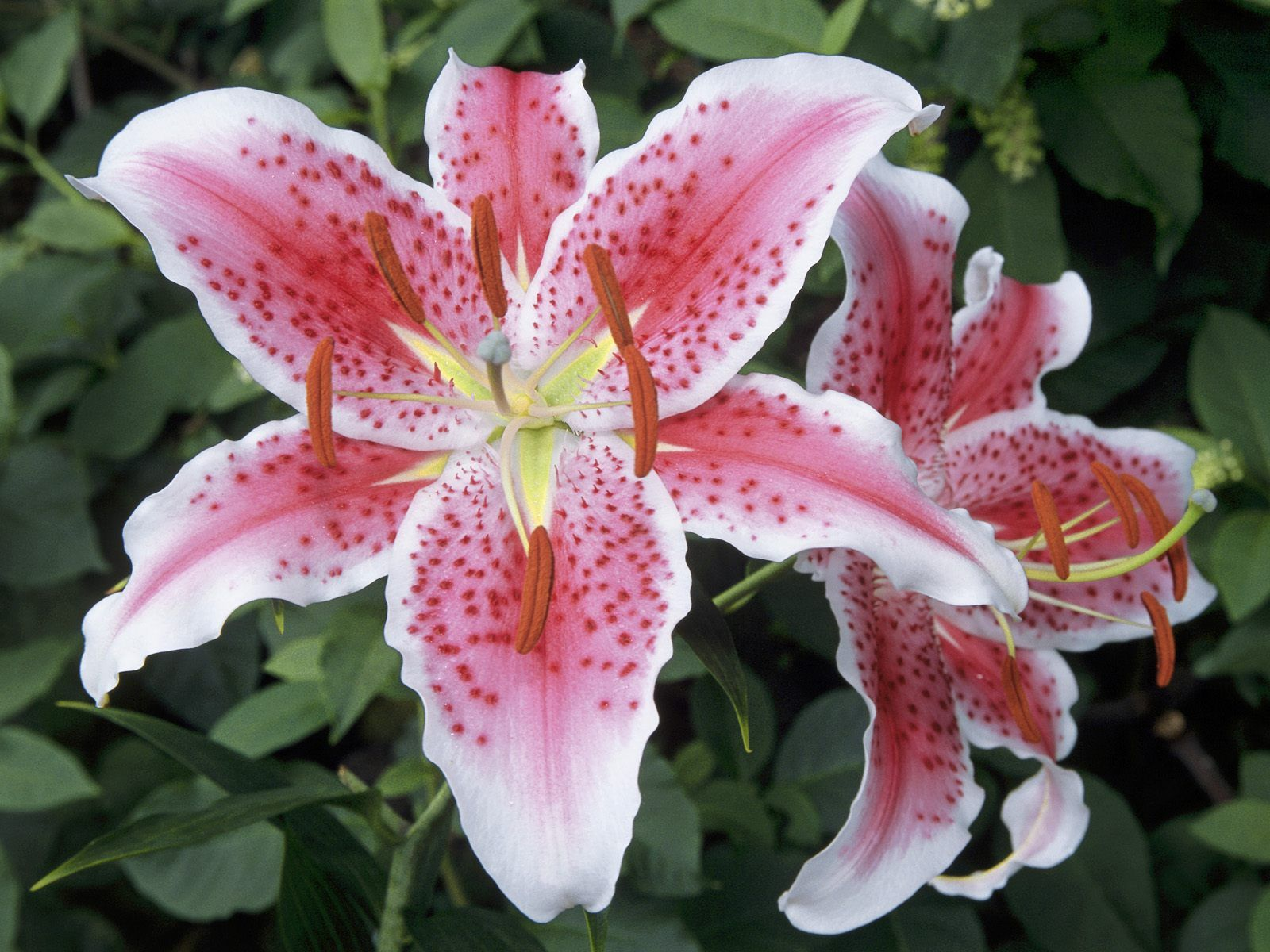 11 different types of lilies that make you love flowers and plant beautiful lilies flowers with different types all types and varieties for your garden plant ideas izmirmasajfo