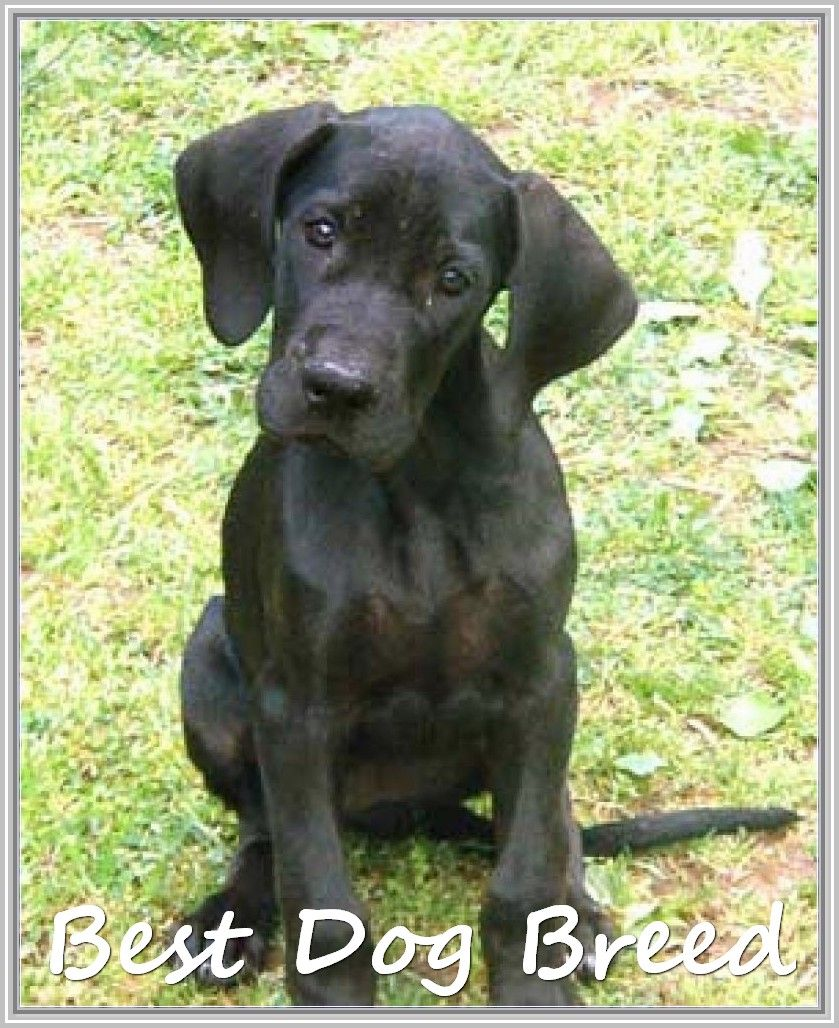 Answer To Dog Related Questions Doggie Swagger Dane Puppies Black Great Dane Puppy Great Dane Puppy