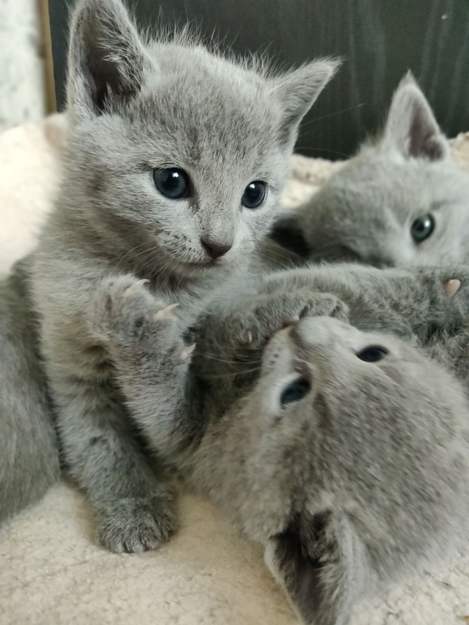 Pin On Catsforsaleinkuwait