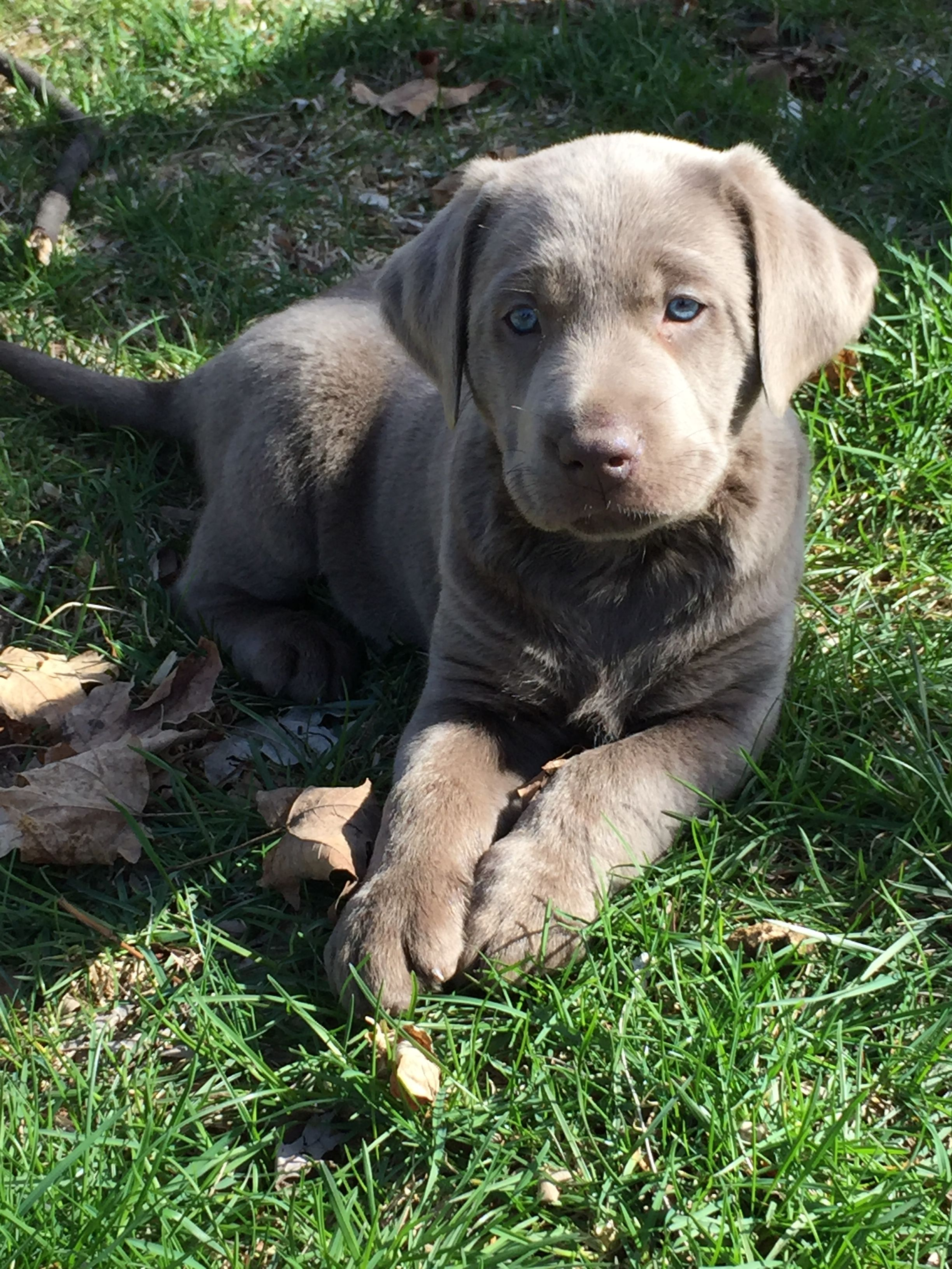Love My Silver Lab Lab Puppies Silver Lab Puppies Labrador Retriever