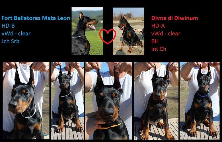 Dobermann Puppies For Sale Dobermann Welpen Kupiert Kaufen