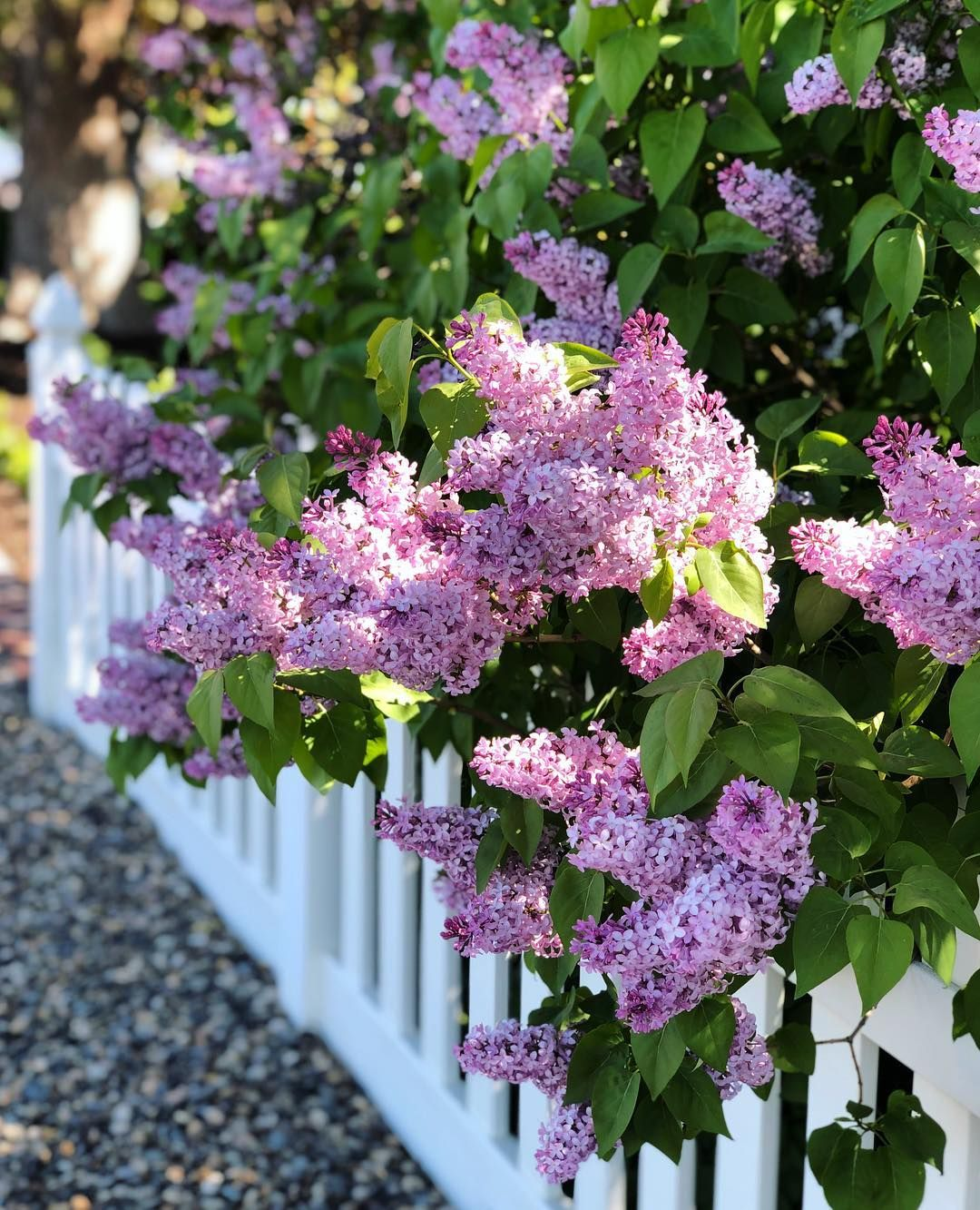 Soft Morning Light With Fragrant Lilac Filling The Air Beautiful Flowers Garden Garden Ideas To Make Flower Garden