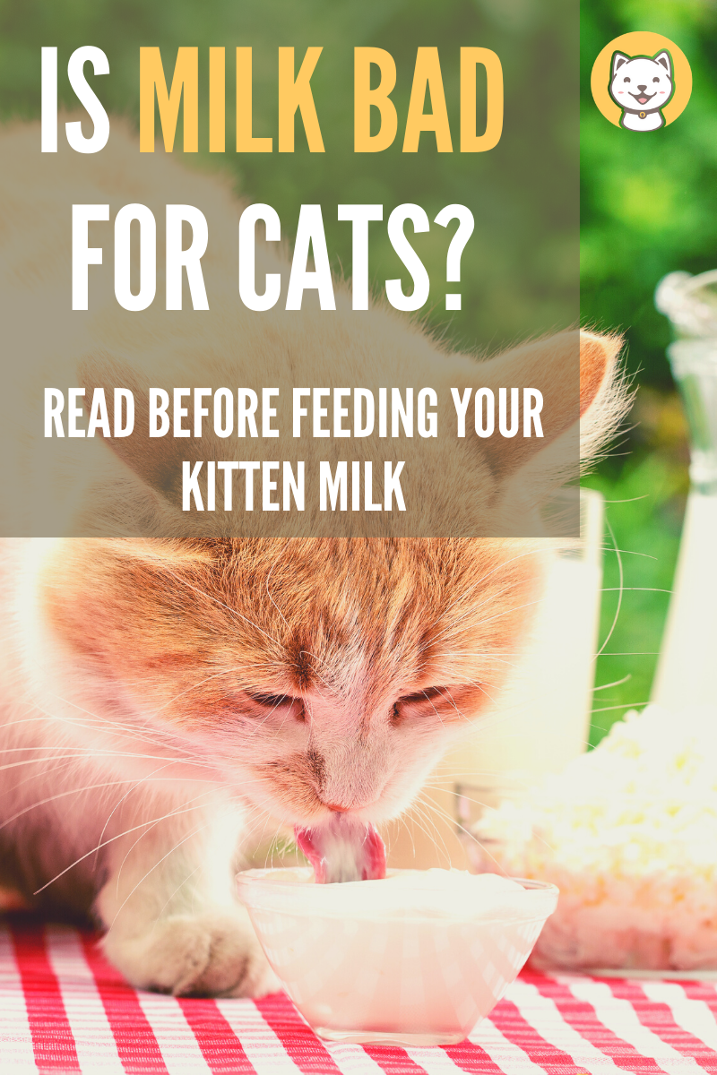 Is Milk Bad For Cats? Read before feeding your kitten milk