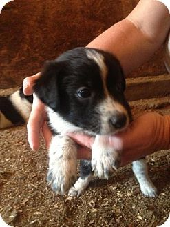Minneapolis Mn Border Collie Australian Shepherd Mix Meet Fontaine A Puppy For Adoption Puppy Adoption Kitten Adoption Puppies