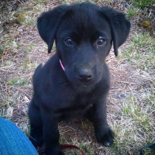 Black Lab Husky Mix Cute Animals Husky Mix Puppies