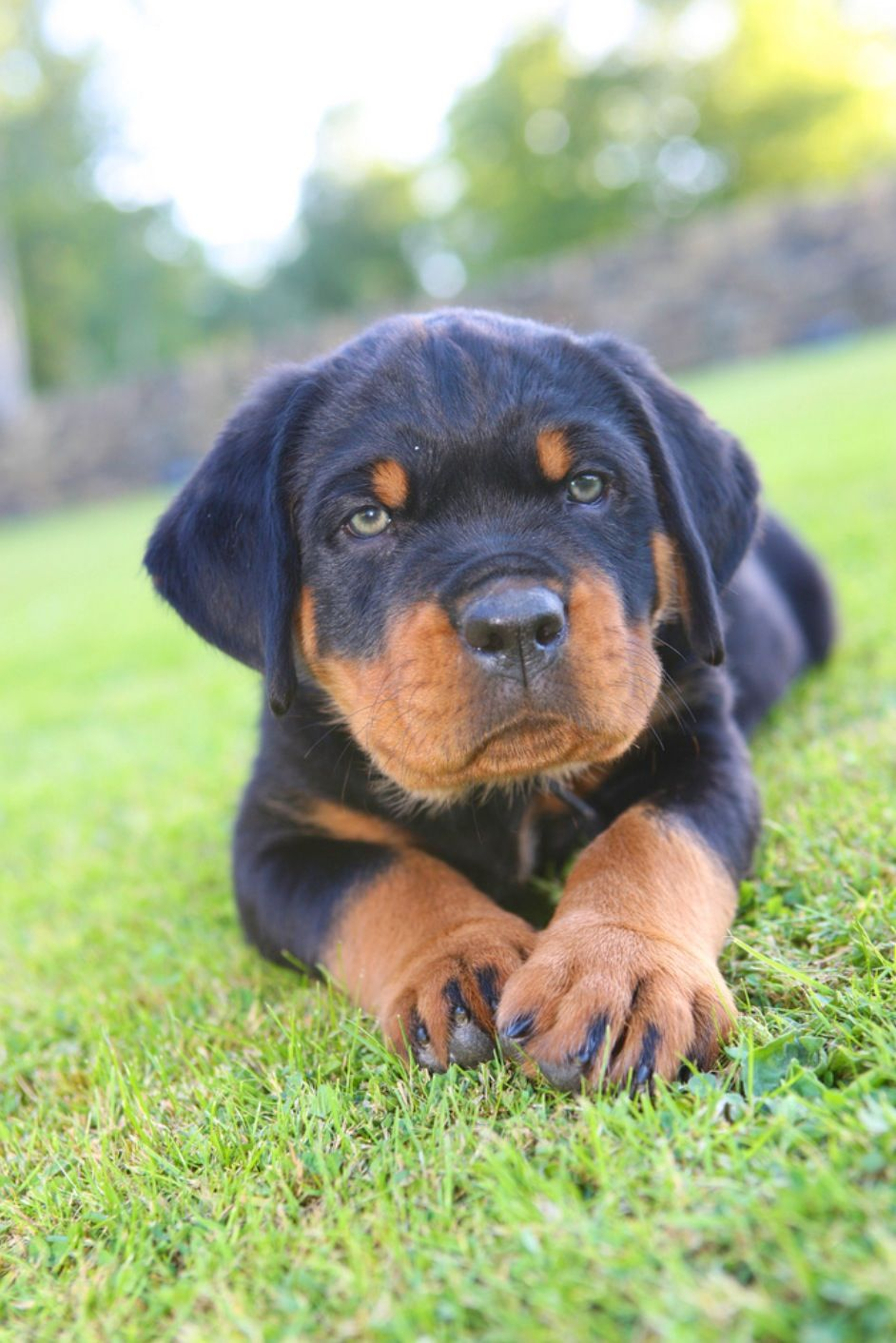 Rottweiler Our Future Family Dog Rottweiler Puppies