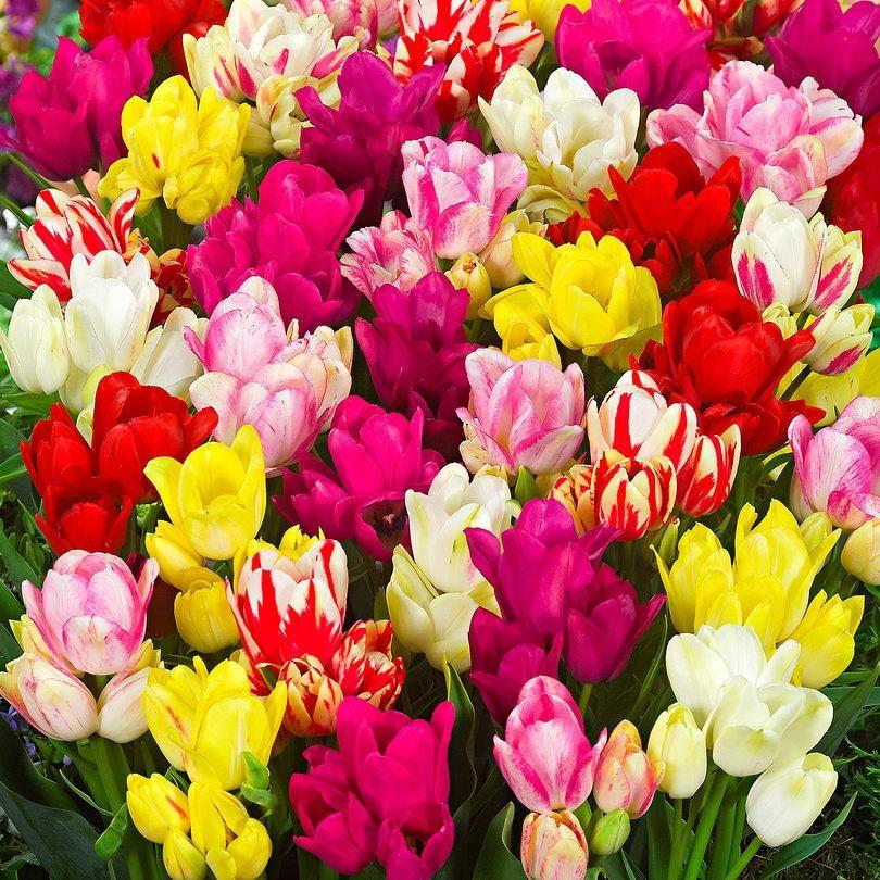 Tulip Club Mixture Bulbs Bunch Flowering Planting Tulip Bulbs Planting Tulips Bulb Flowers