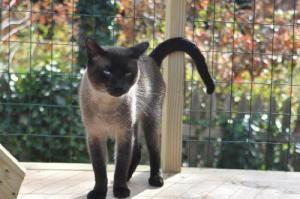 Adopt Tonks On Tonkinese Cat Cats Tonkinese