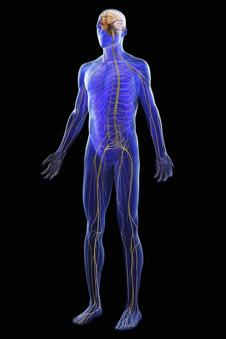 Learn About the Peripheral Nervous System and Why It\'s Important ...