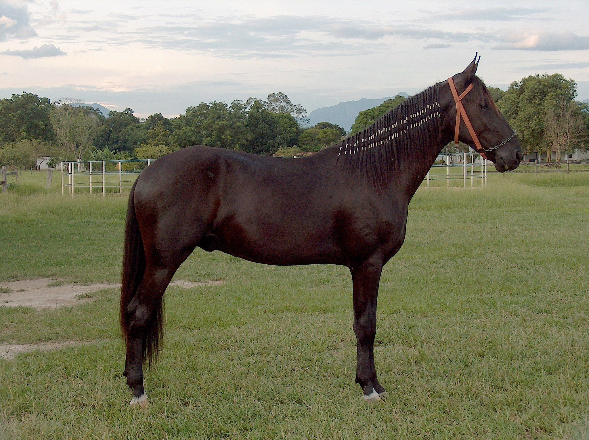 Campolina With Images Horse Breeds Different Horse Breeds