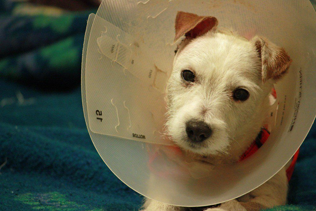 Do Pets Need to Stay Overnight After Neutering or Spaying ...