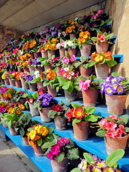 100 graines-Hardy VIVACE fleur Primeverre candélabre Arc-en-ciel