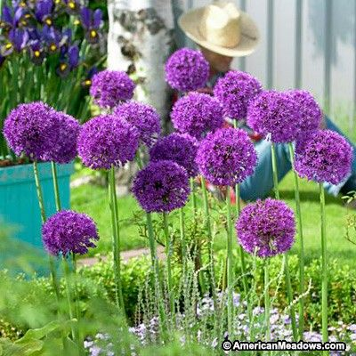 allium purple sensation or persian onion is a big favorite with purple globe flowers about 4. Black Bedroom Furniture Sets. Home Design Ideas