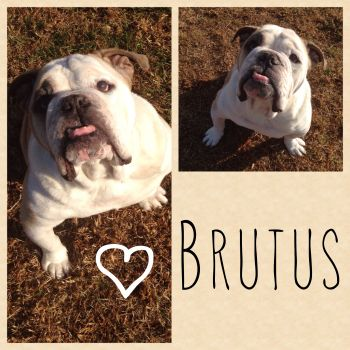 Brutus Needs A Home Www Socalbulldogrescue Org Bulldogs Needing