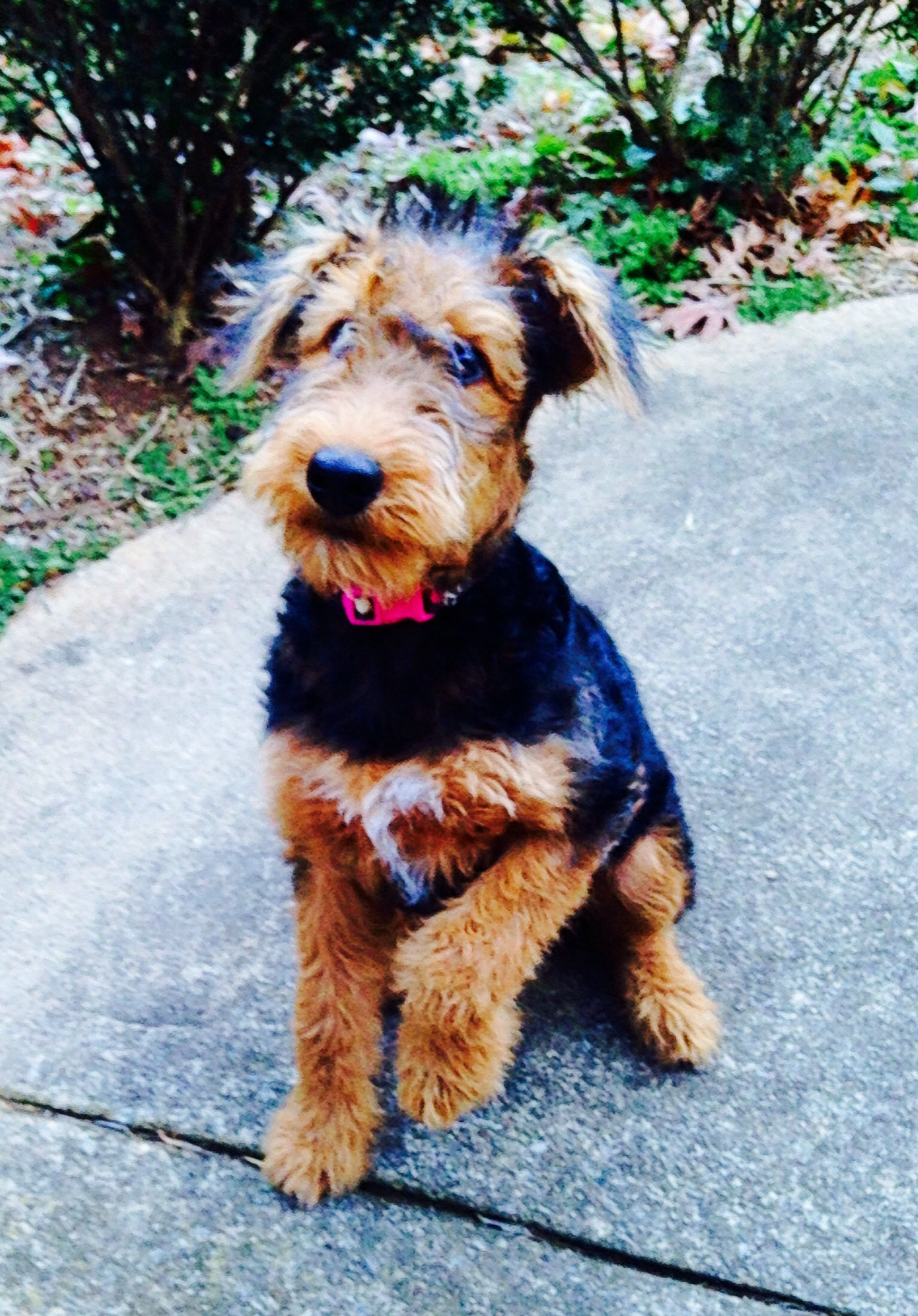 Airedale puppy tallulah 19 weeks airedale puppy