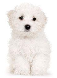 Italian Dog Names For Cane Corsos Neapolitan Mastiffs Or Any