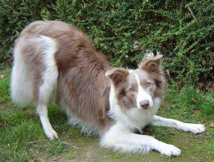 Lilac and white collie