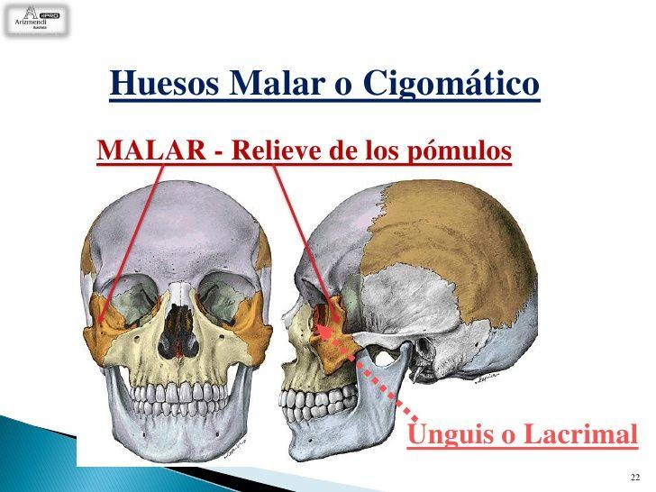 El hueso cigomático o malar es un hueso par, corto y compacto ...