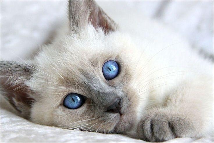 Balinese Kitten Hypoallergenic Balinese Cat Pretty Cats Pets