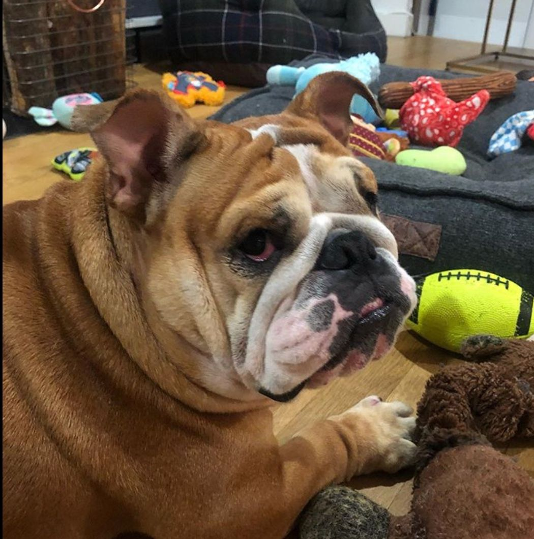 Pin By The Great British Bulldog On Bulldogs Of Instagram Cute Puppy Breeds Bulldog Puppy Breeds