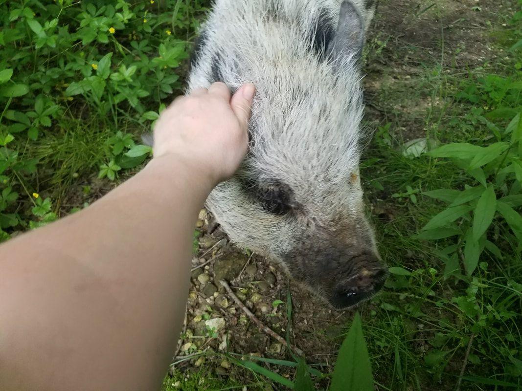 PreLoved Pigs Genuine Micro Mini Teacup Pet Pigs! Pig