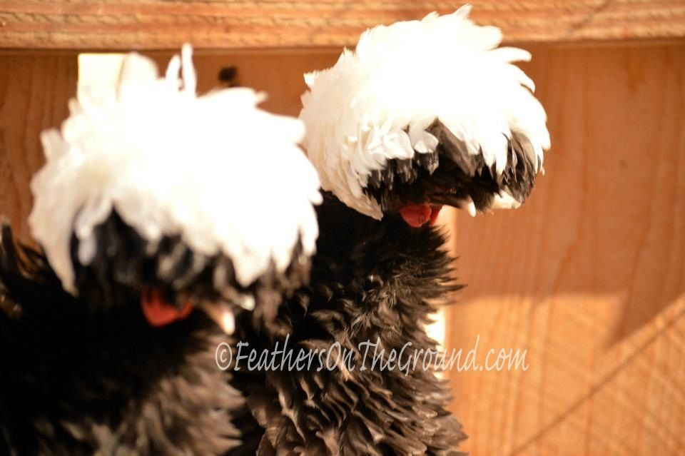 Bantam Frizzled Polish Hobby farms, Chickens, Birds